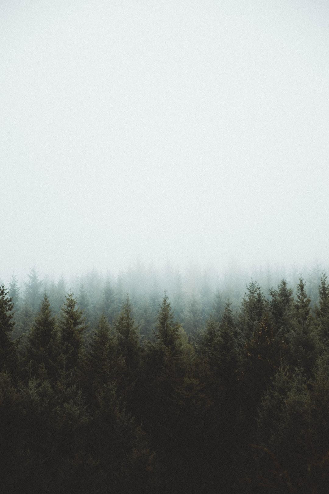 photo of pine trees