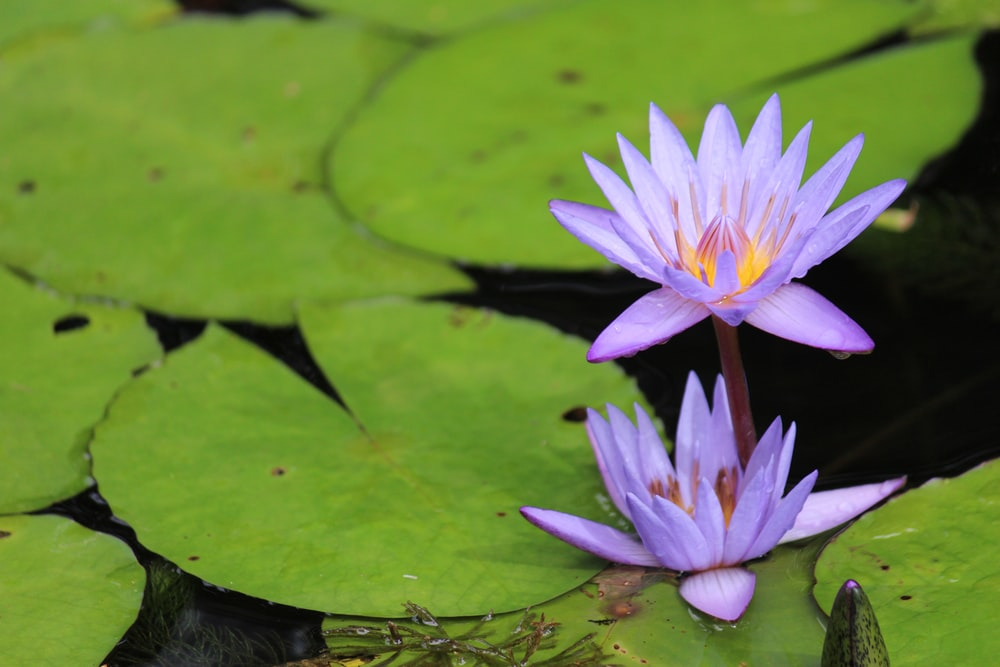 two purple water lily flowers