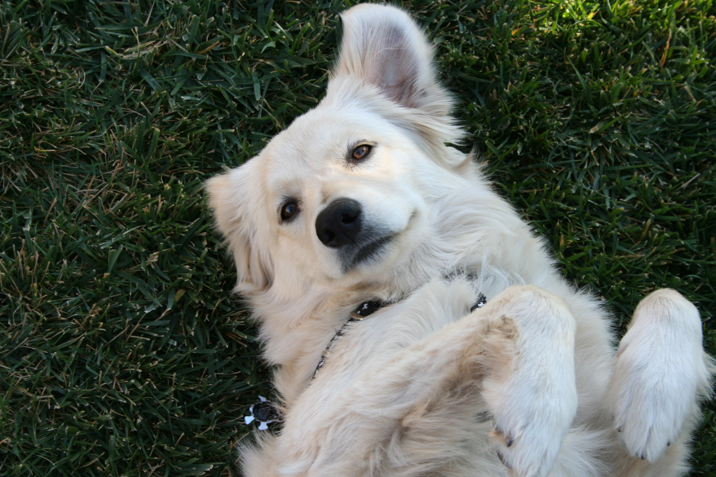 white dog lying on grass field