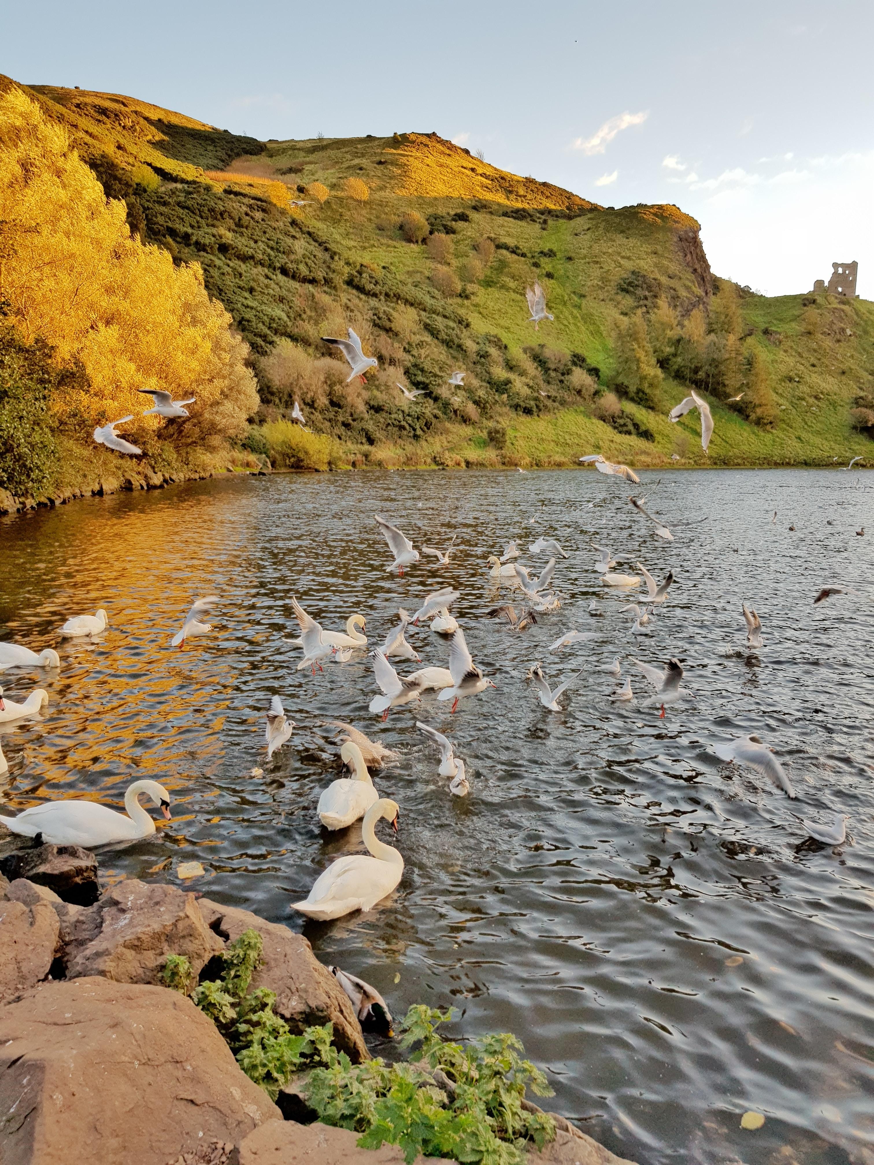 flock of swan on lake