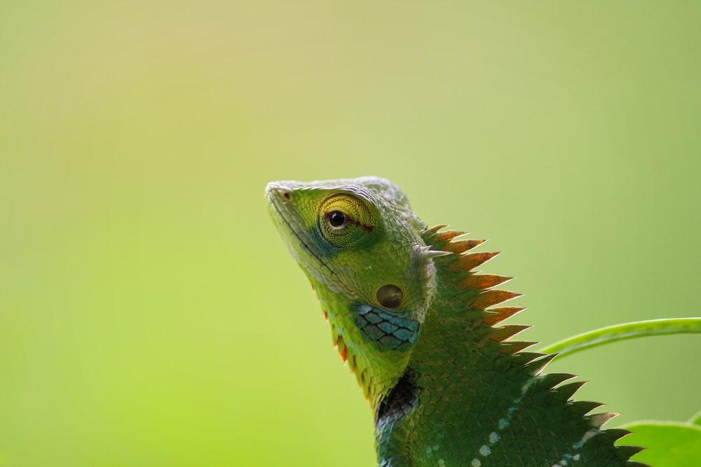 shallow focus photograpy of green iguana