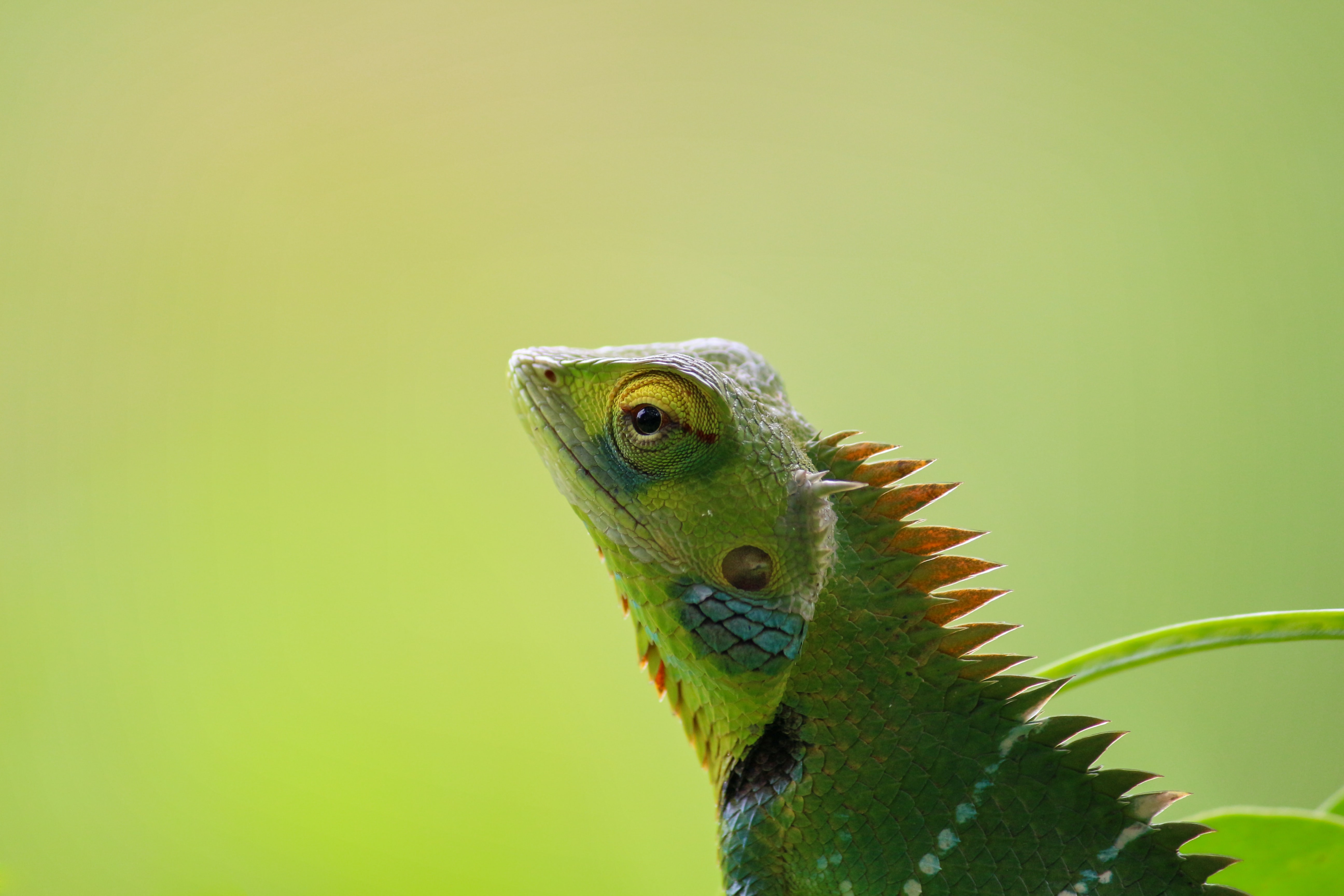 shallow focus photograpy of green iguana