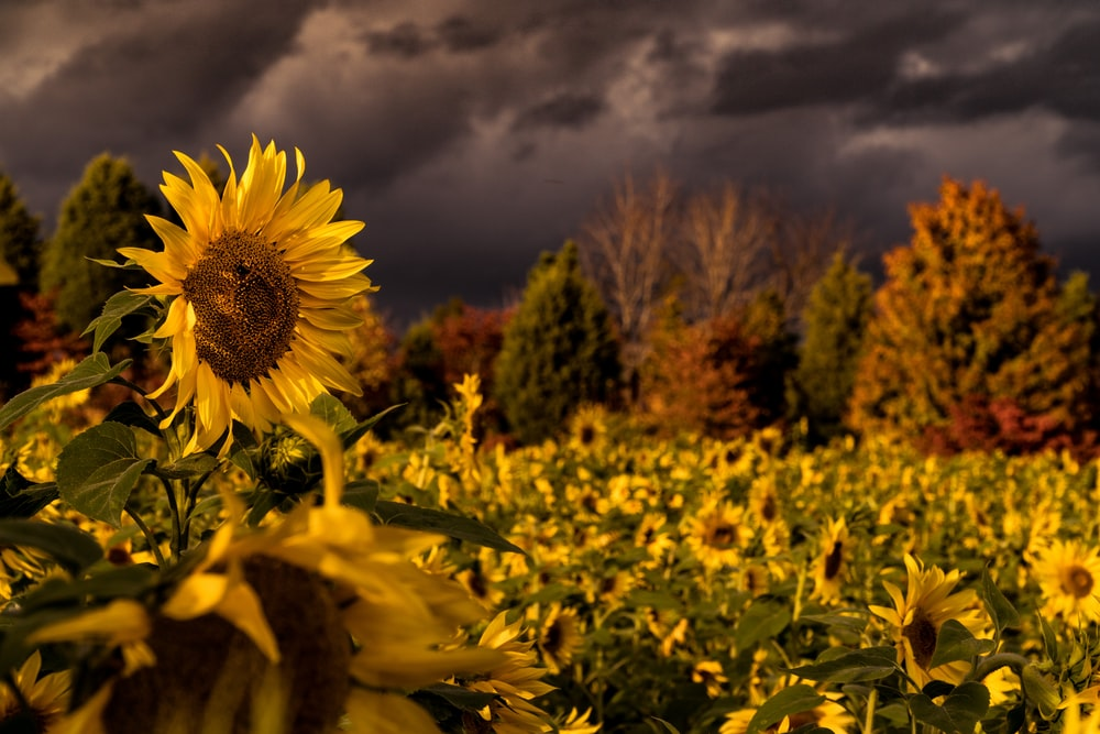 sunflower field under dark clouds