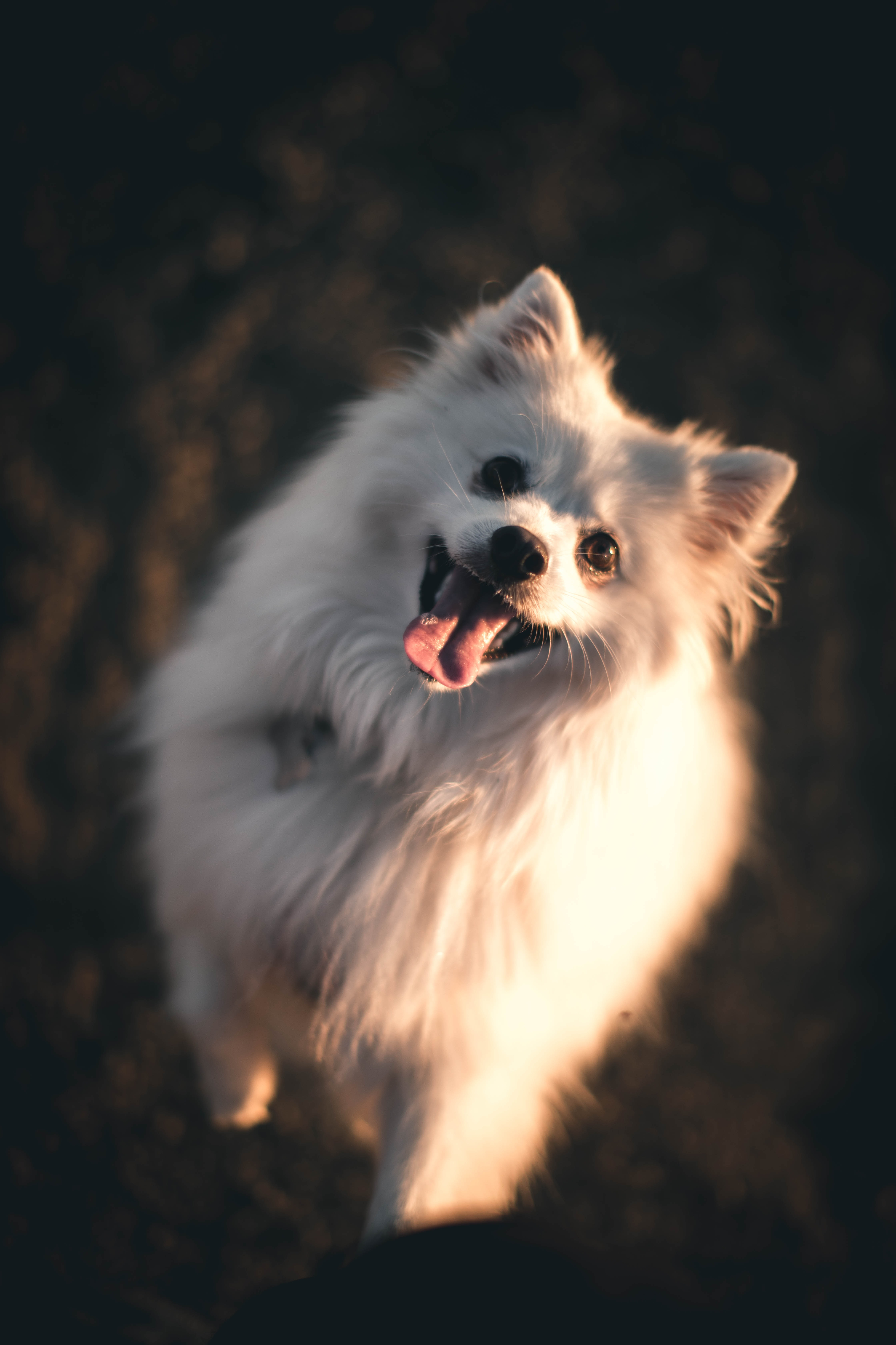 white dog standing with tongue out