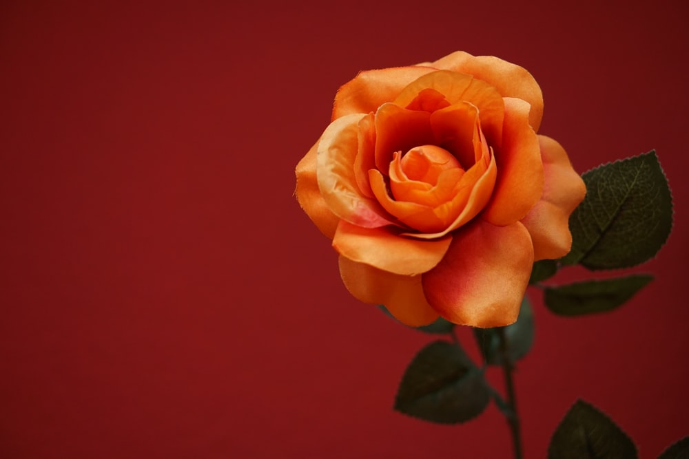 Image result for orange color rose png
