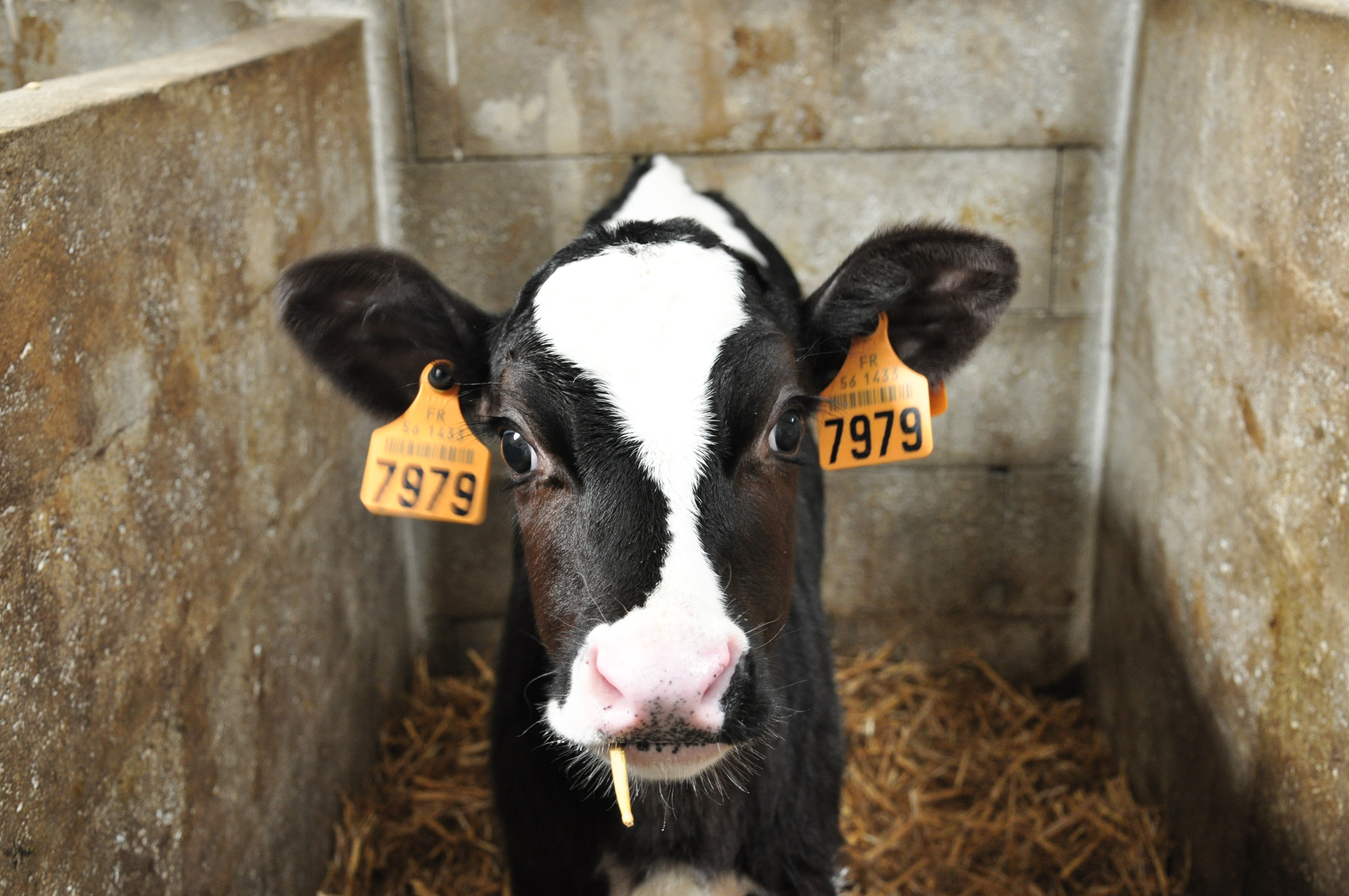 white and black cattle with number 7979 tags