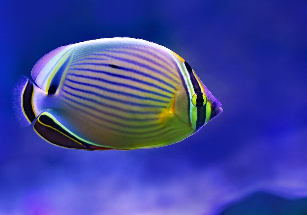 yellow and black Blue Tang fish
