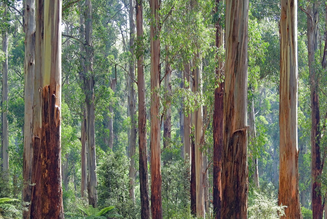 Whenever I visit friends and relatives in Melbourne in South Eastern Australia, I like to spend some time in the cathedral-like mountain ash forests. In this photo, you can just detect the slightly bluish haze typical of eucalyptus forests. Eucalyptus oil is volatile, and also adds a wonderful fresh fragrance to the air.  These trees are the second tallest in the world (after the Coast Redwood), and are the tallest flowering plant in the world.