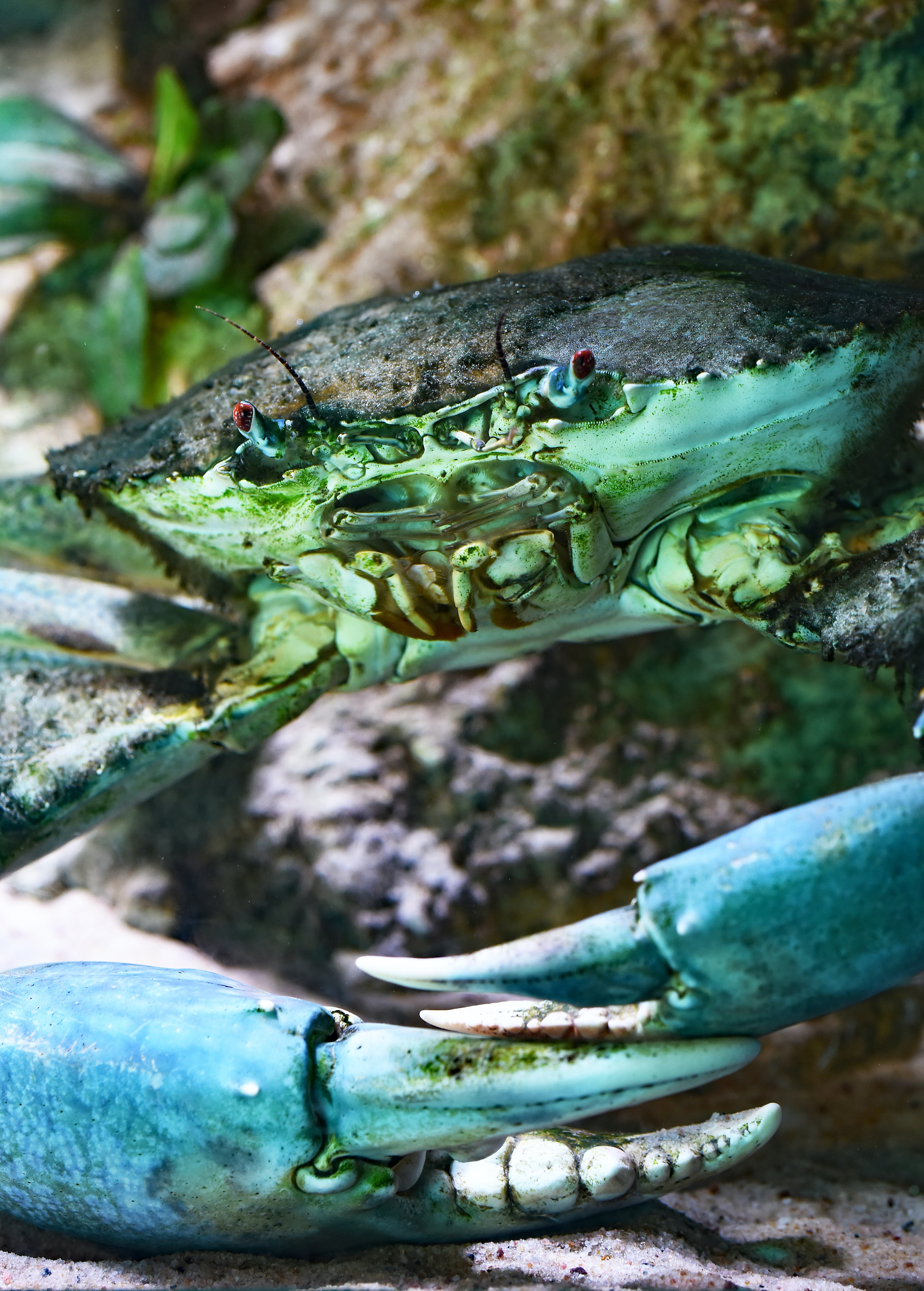 close up photo of teal and black crab
