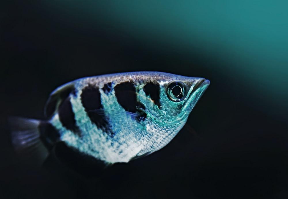 close-up photo of black and gray fish