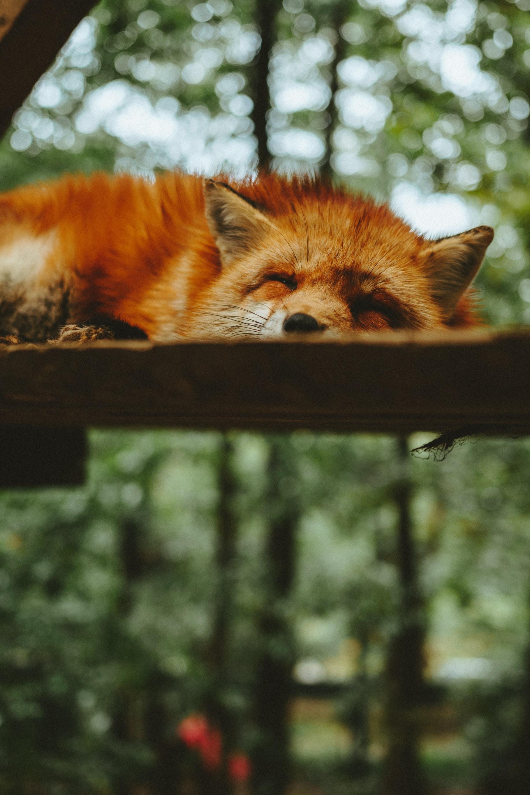brown fox sleeping on brown wooden plank