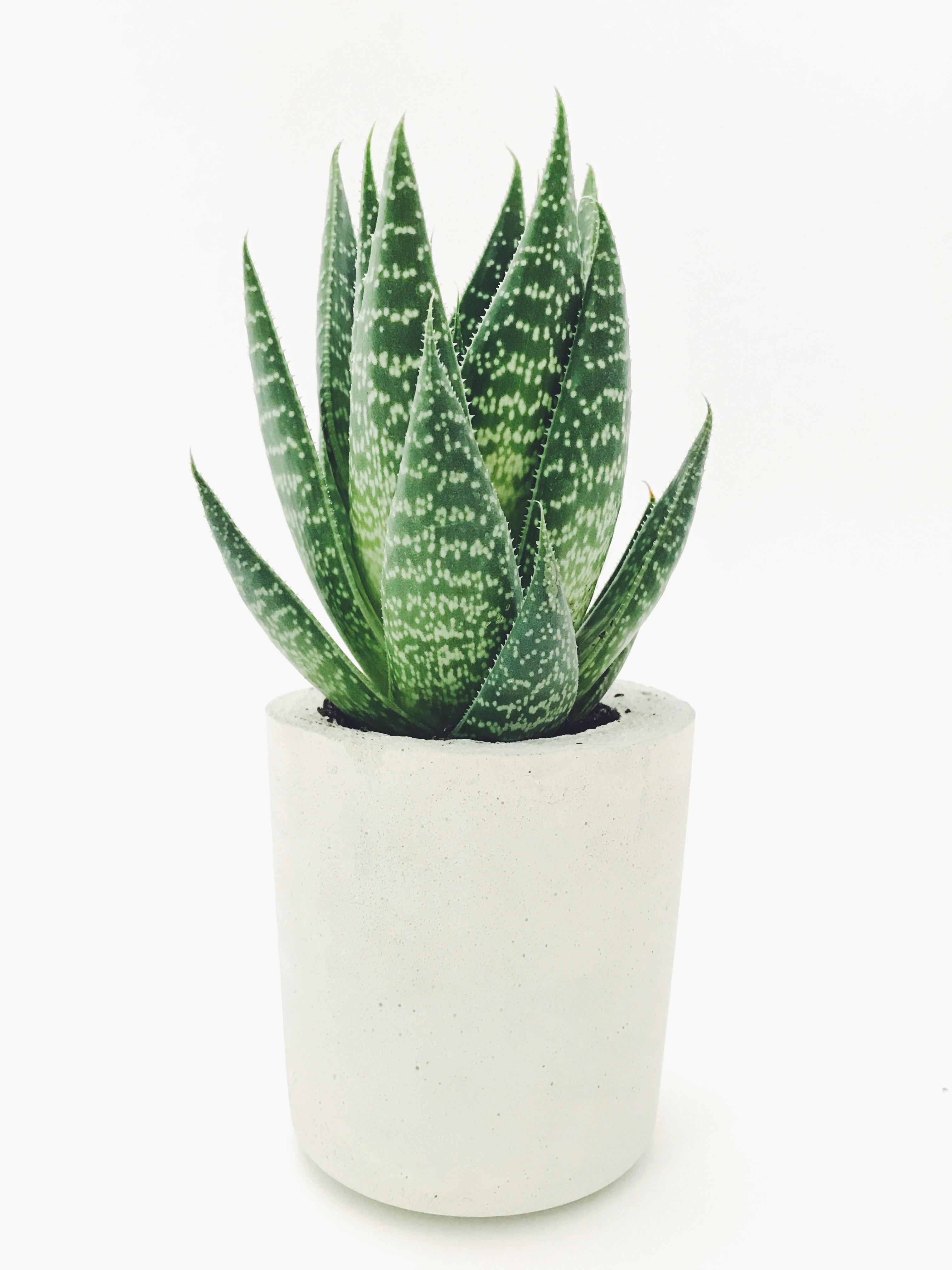 Aloe vera in white pot