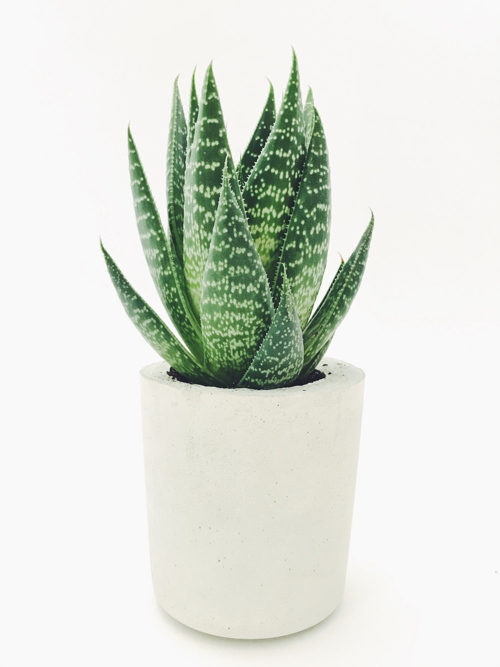 Aloe vera in white pot