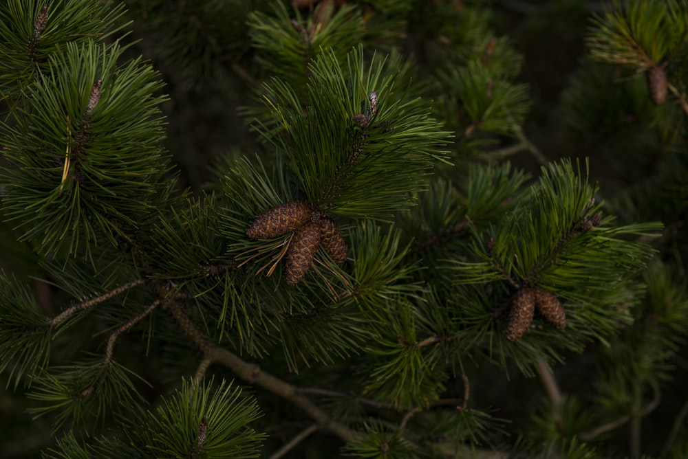 green Christmas tree with pinecones