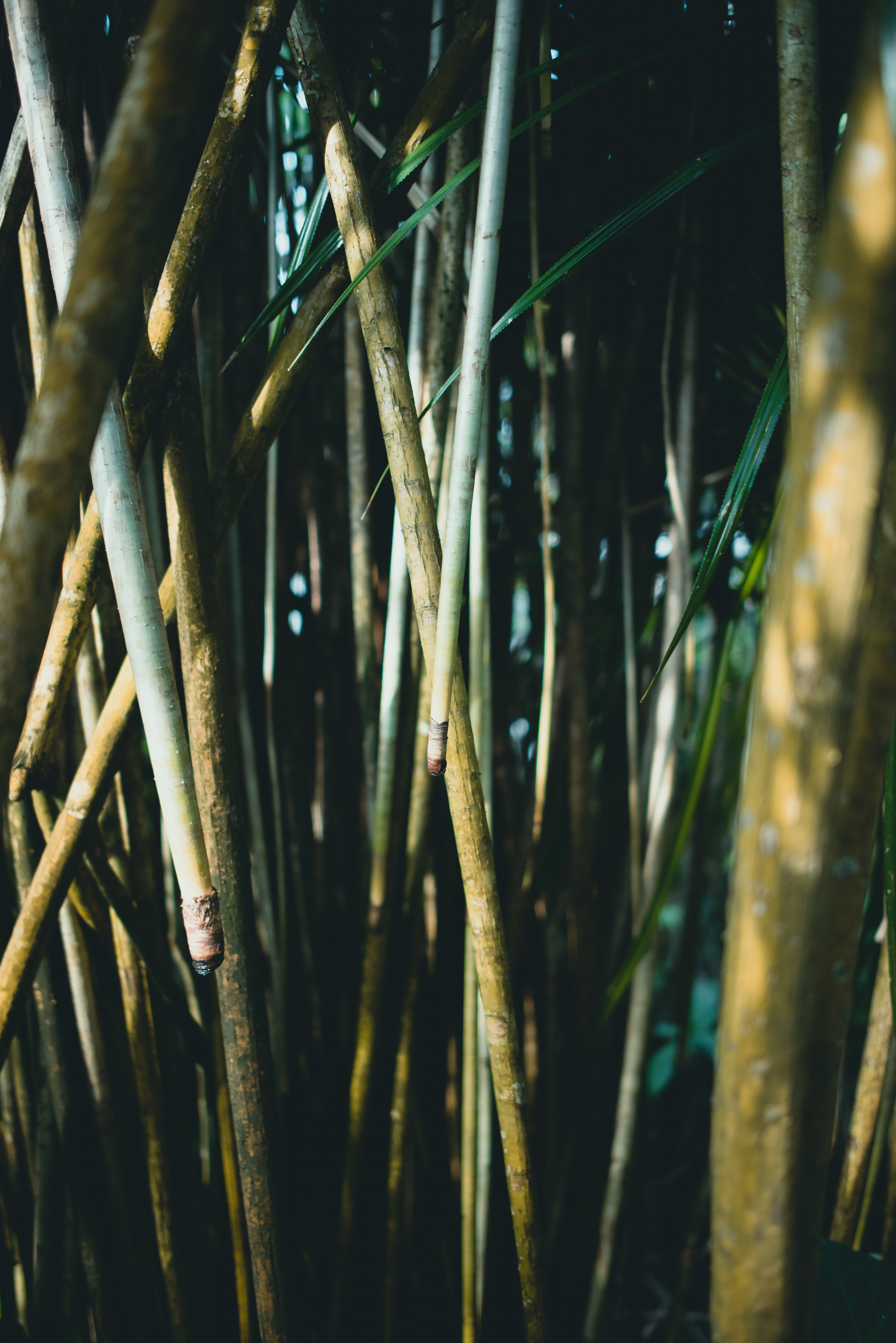 brown bamboo trees