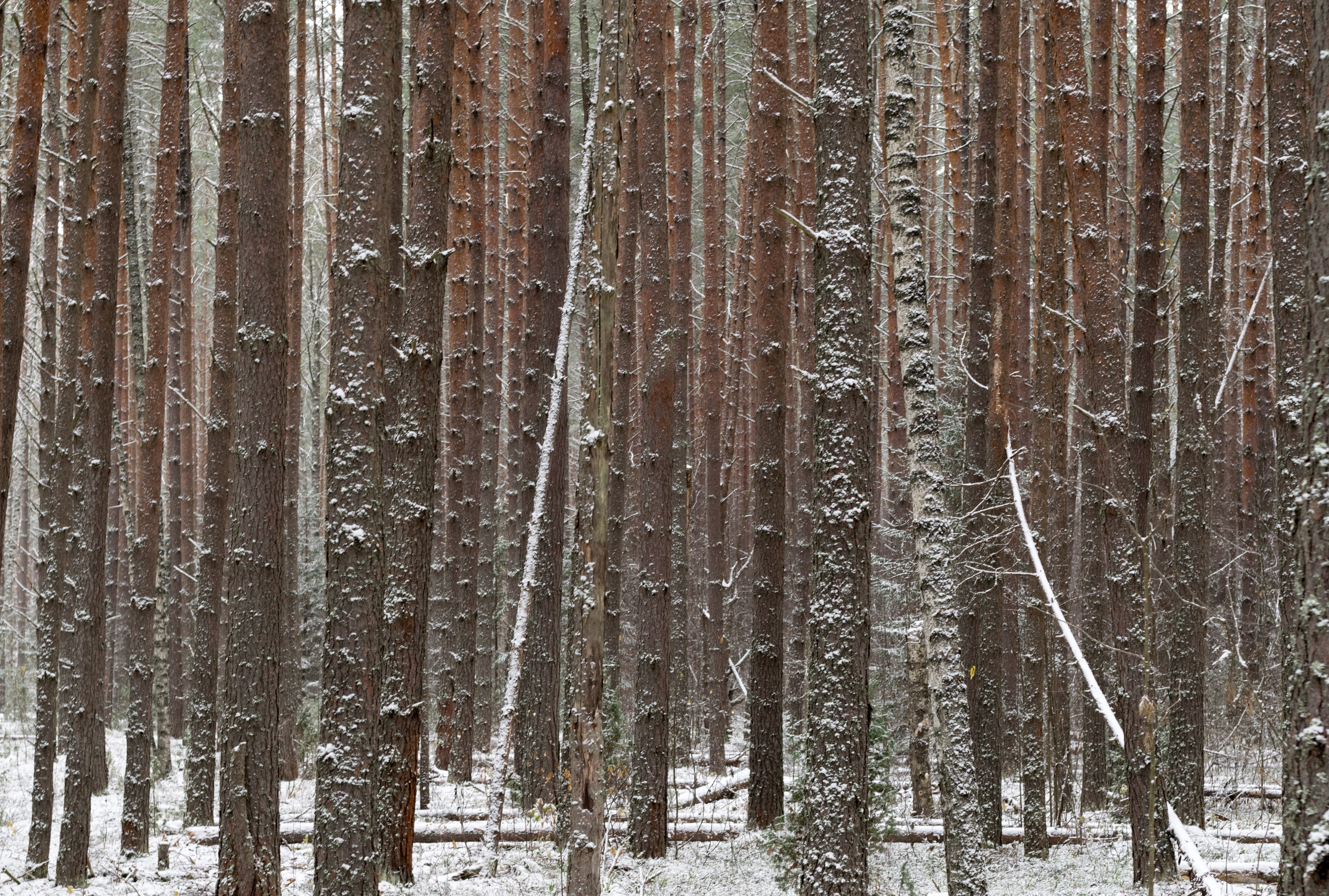 trees with snow in forest