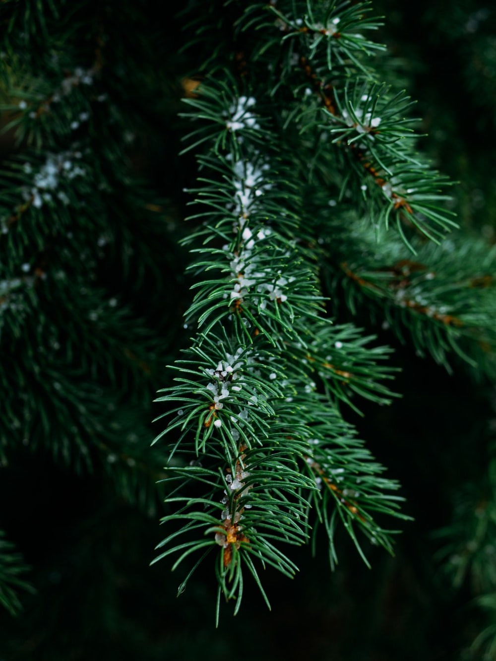 close-up photography of pine tree