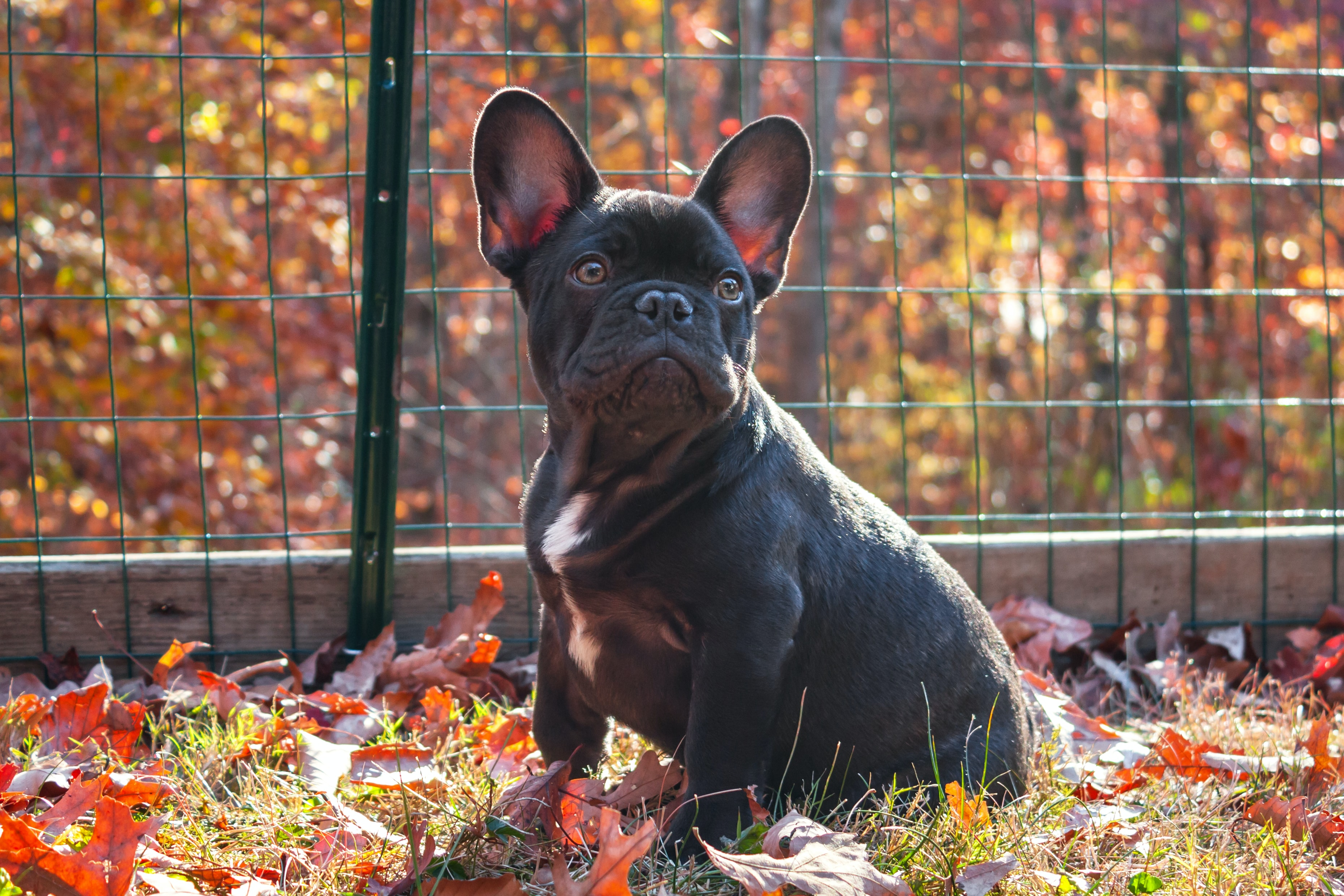 adult French bulldog on ground