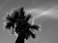 grayscale photography of palm tree