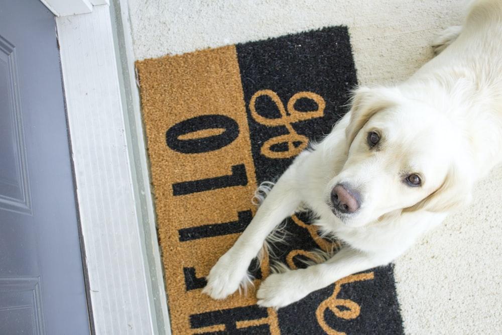 white Labrador reclining on rug