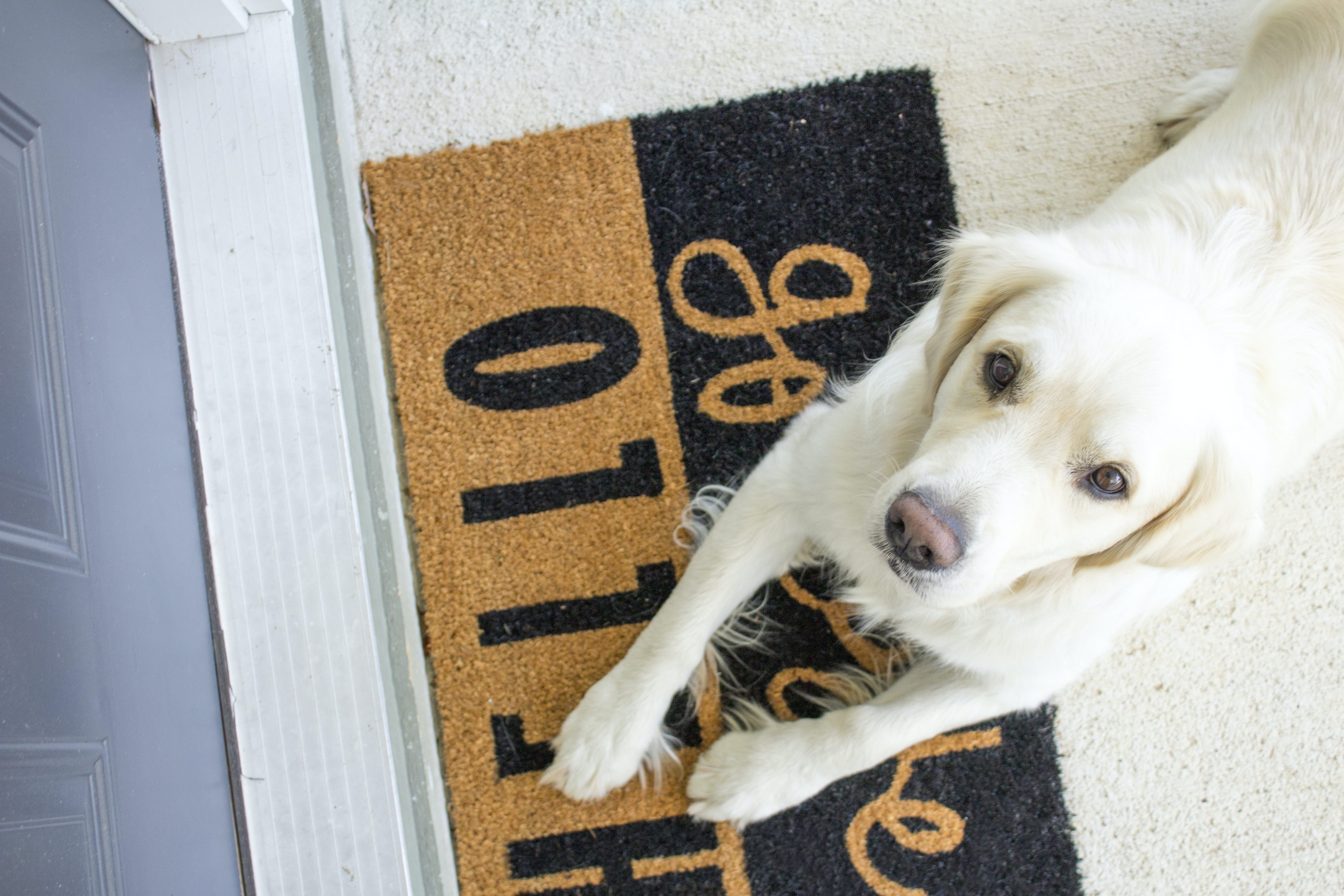 white Labrador reclining on rug