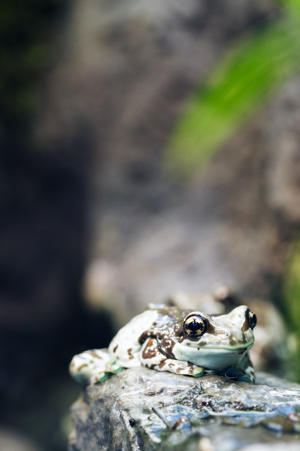 shallow focus photography of teal and black frog on rock