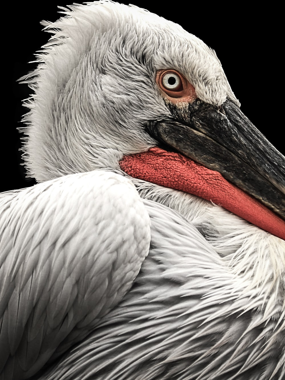 close-up photo of white and red bird