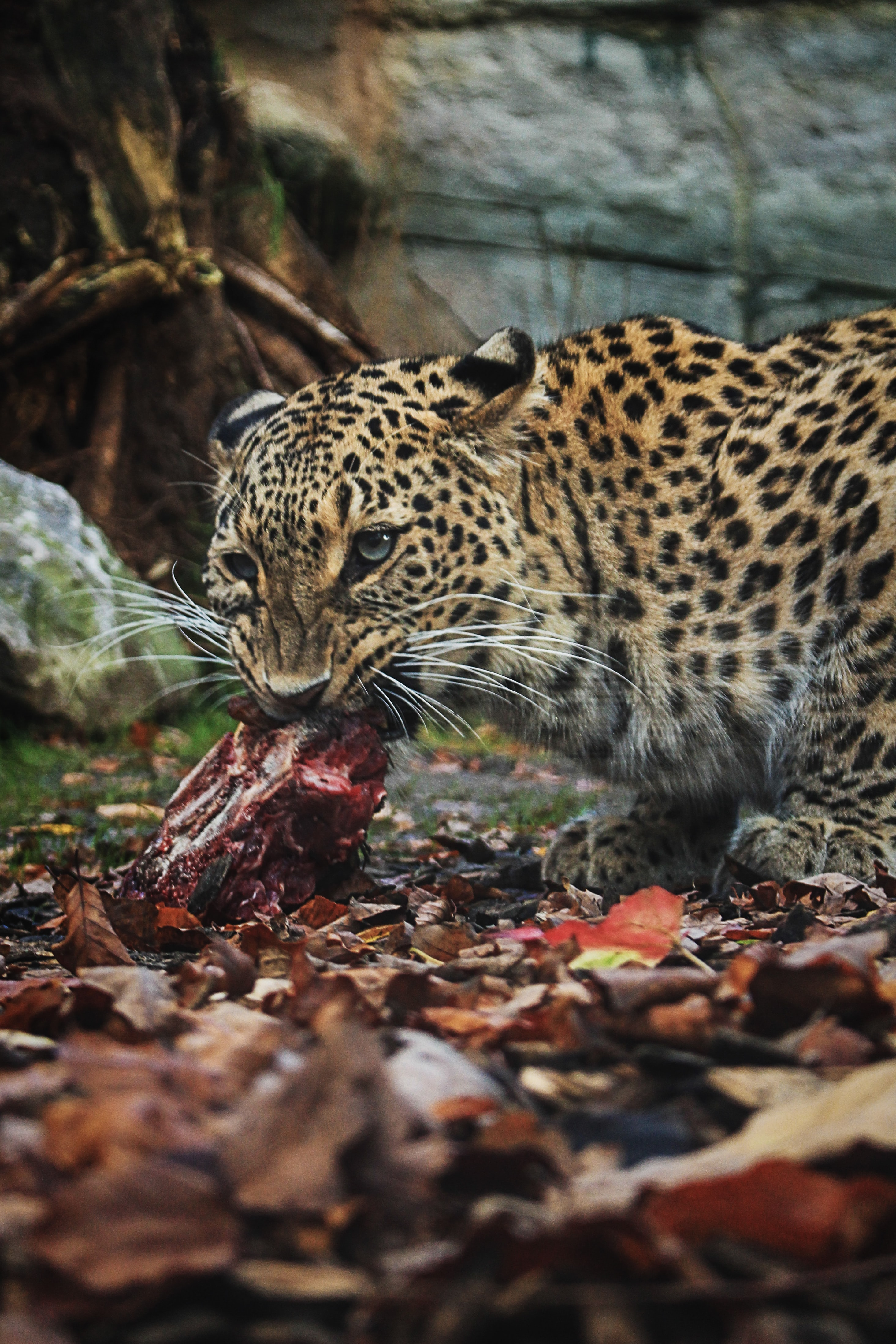 leopard eating raw meat