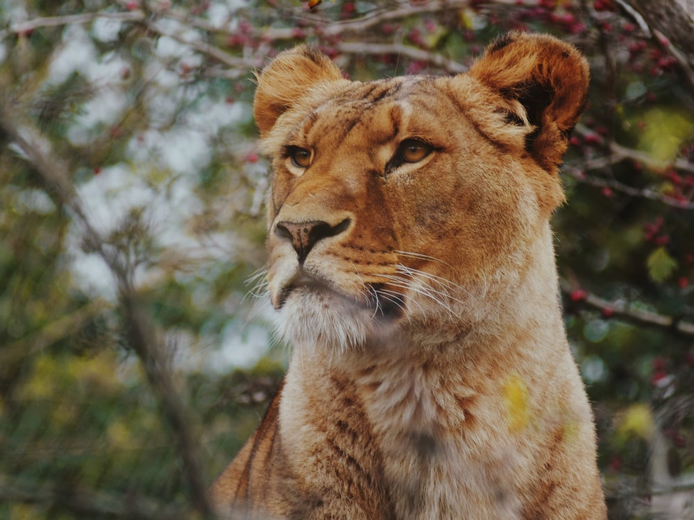 brown lioness in focus photography