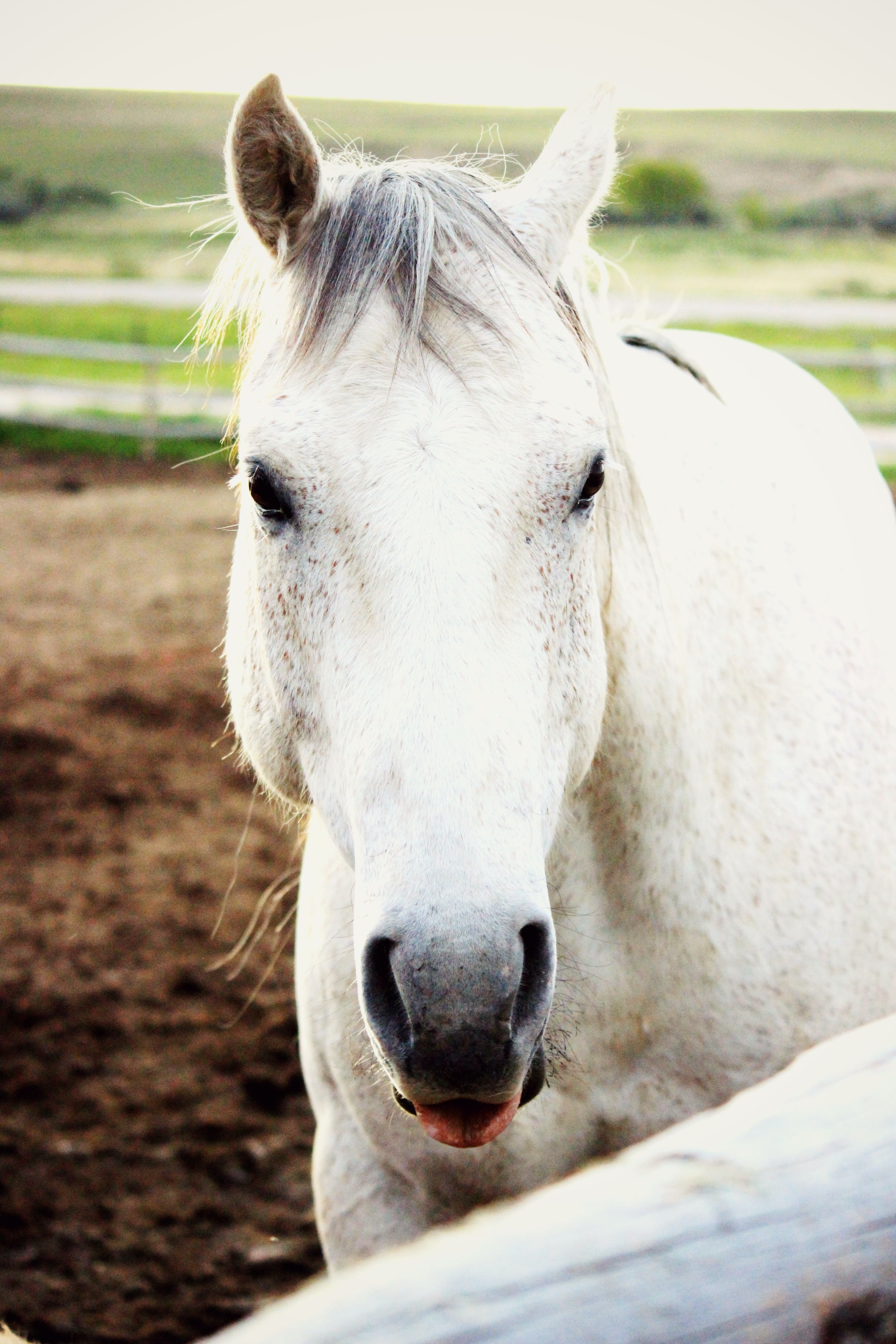 white horse with tongue hanging out