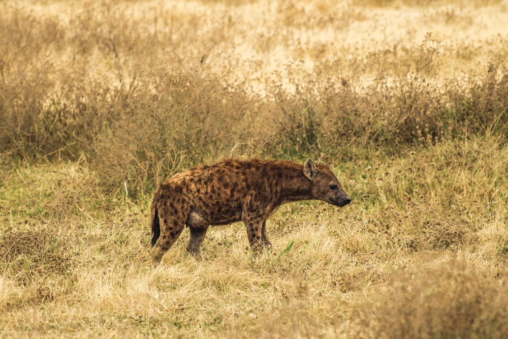 brown and black hyena on the field during daytime photography