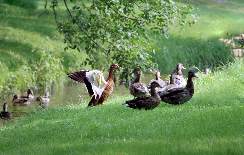 flock of ducks near the river