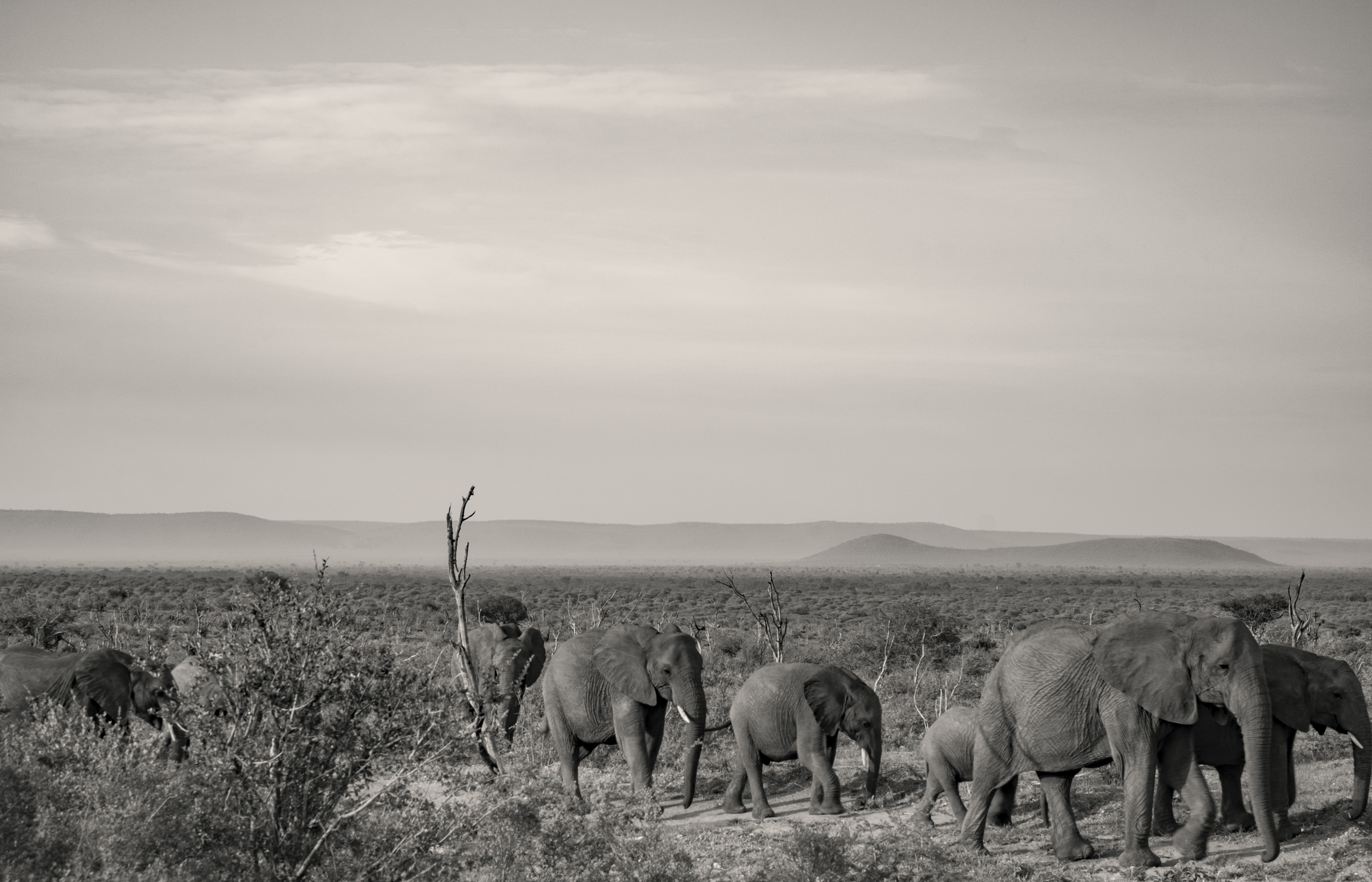 grayscale photography of group of elephant