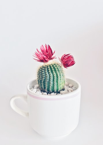 kaktus minimalis