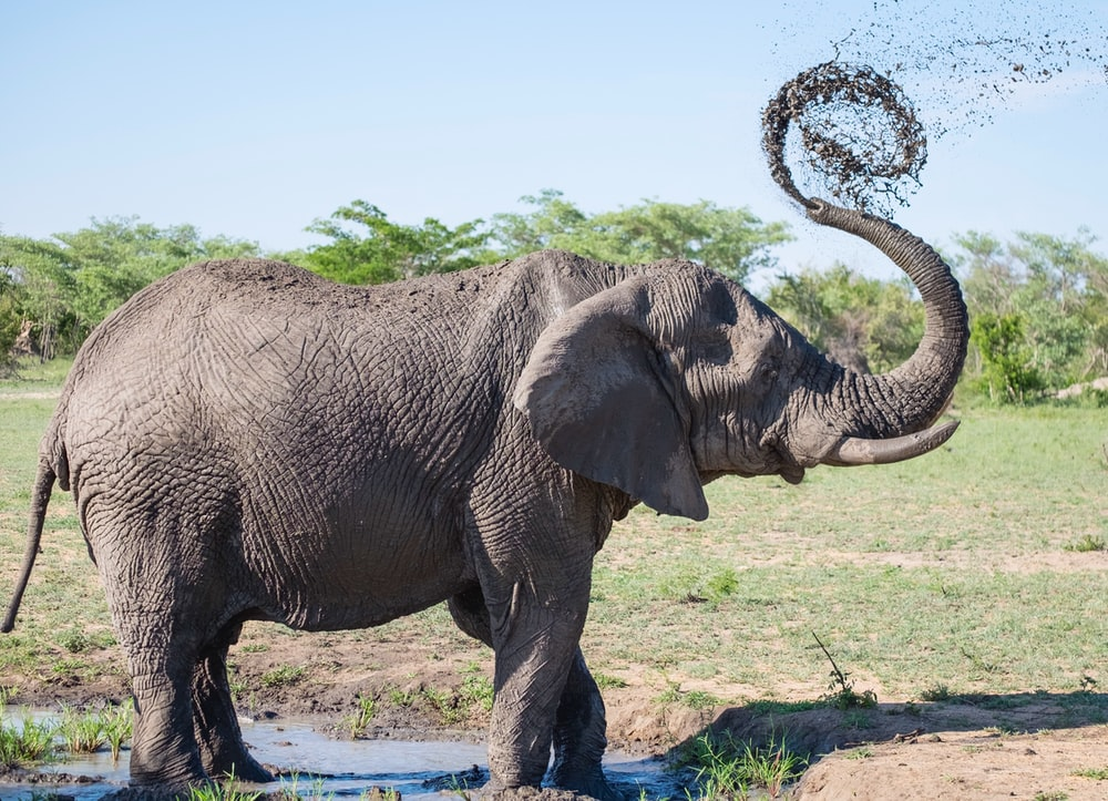 gray elephant playing with mud