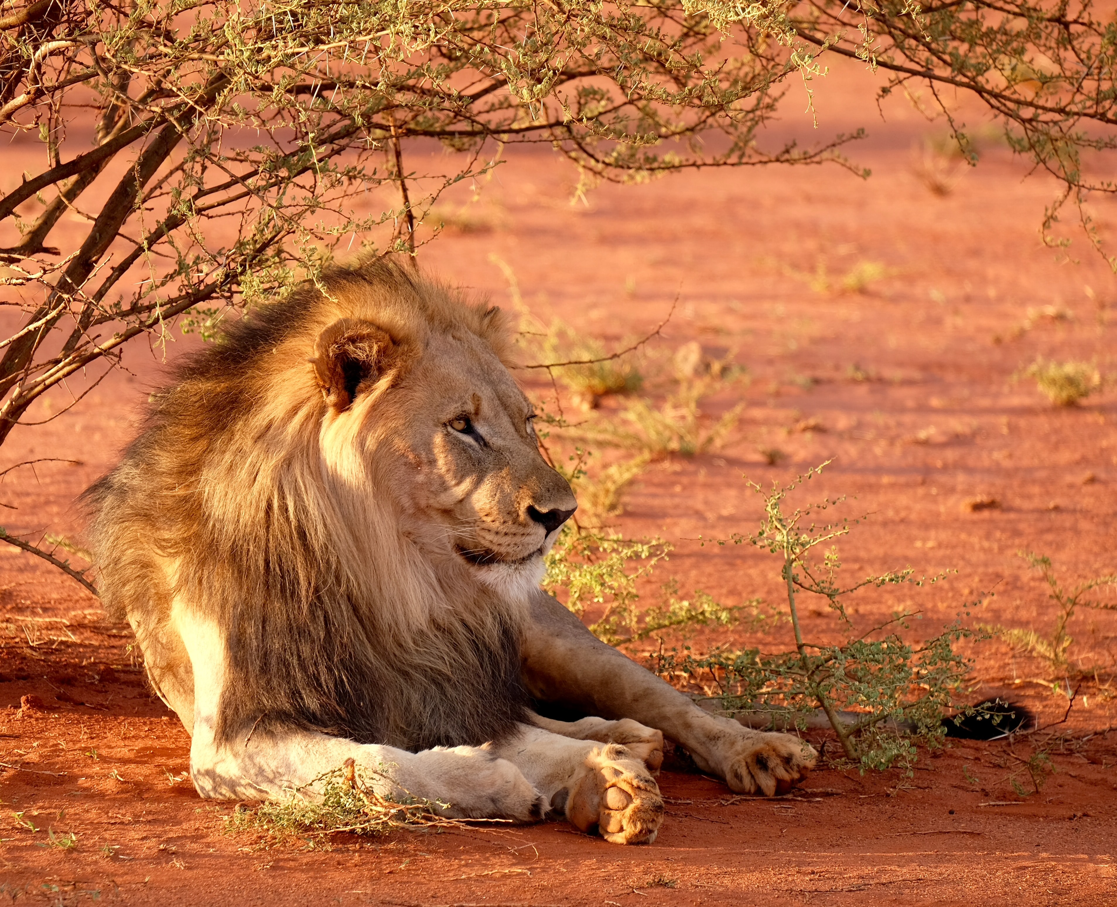 lion leaning near tree during daytime