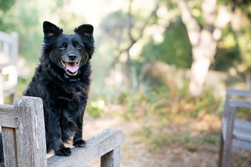 black dog on brown wooden armchair