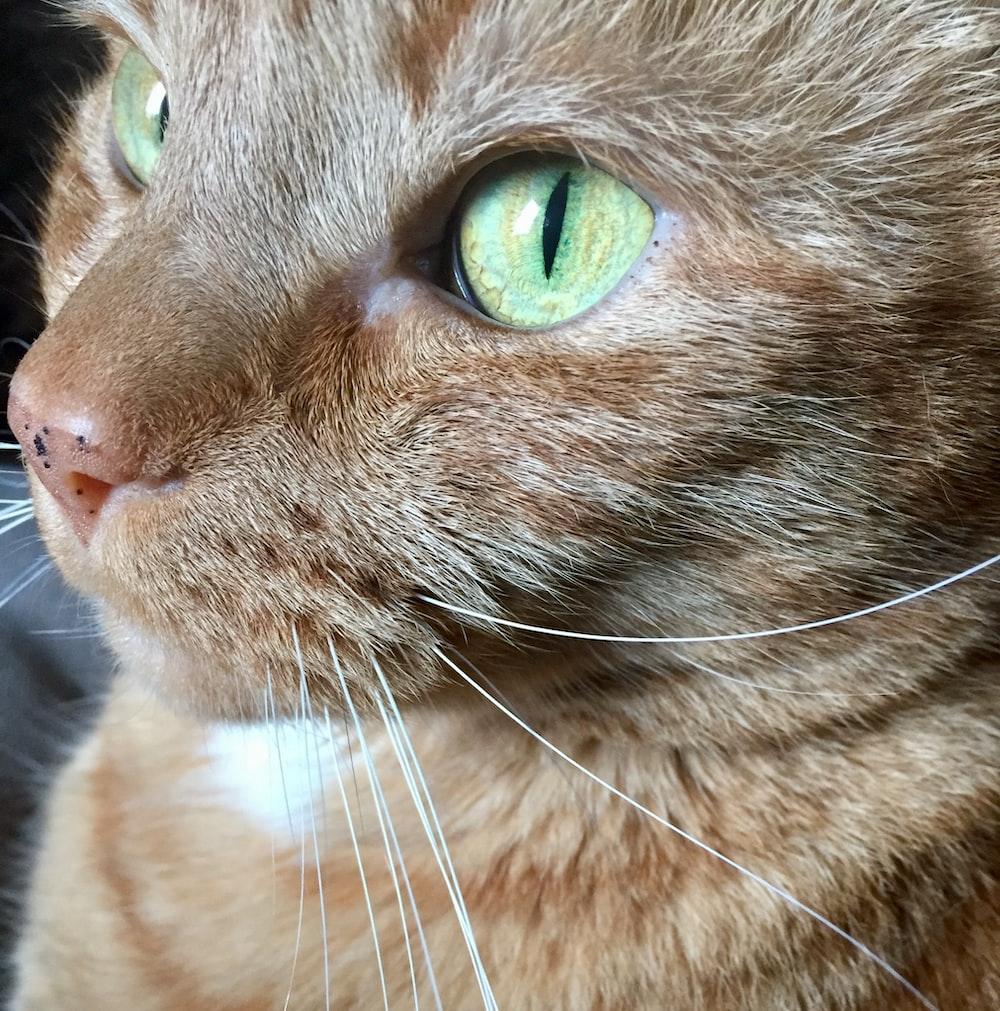 closeup photo of tabby cat