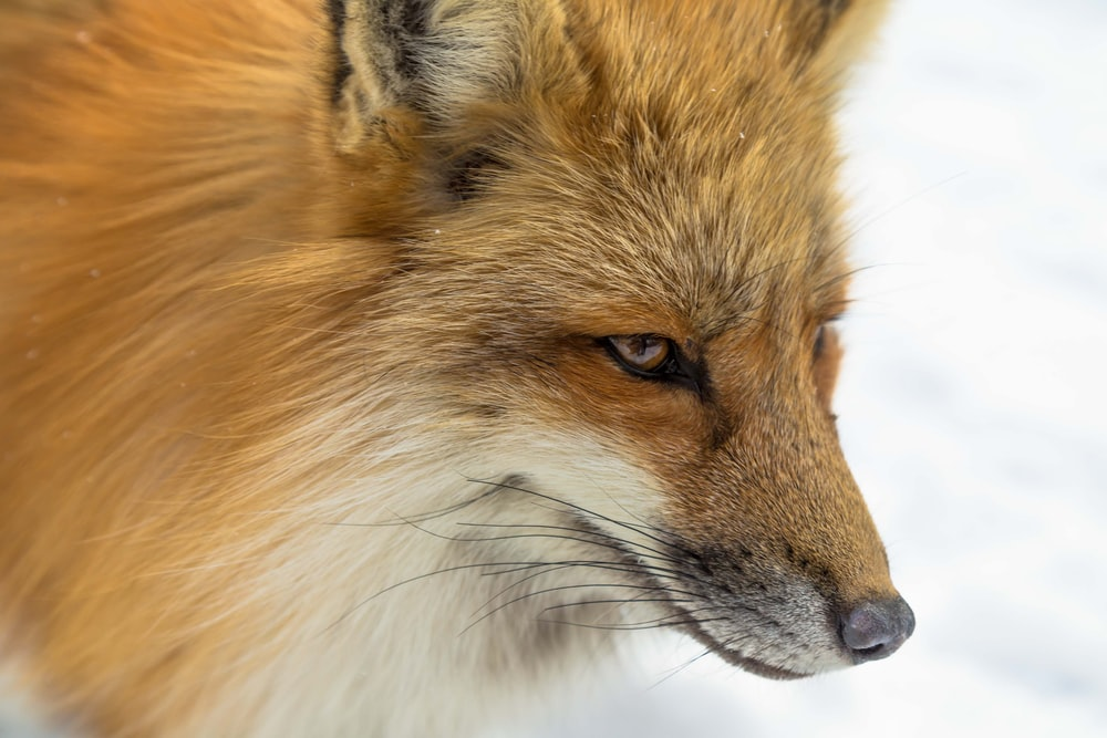 close-up photography of brown fox