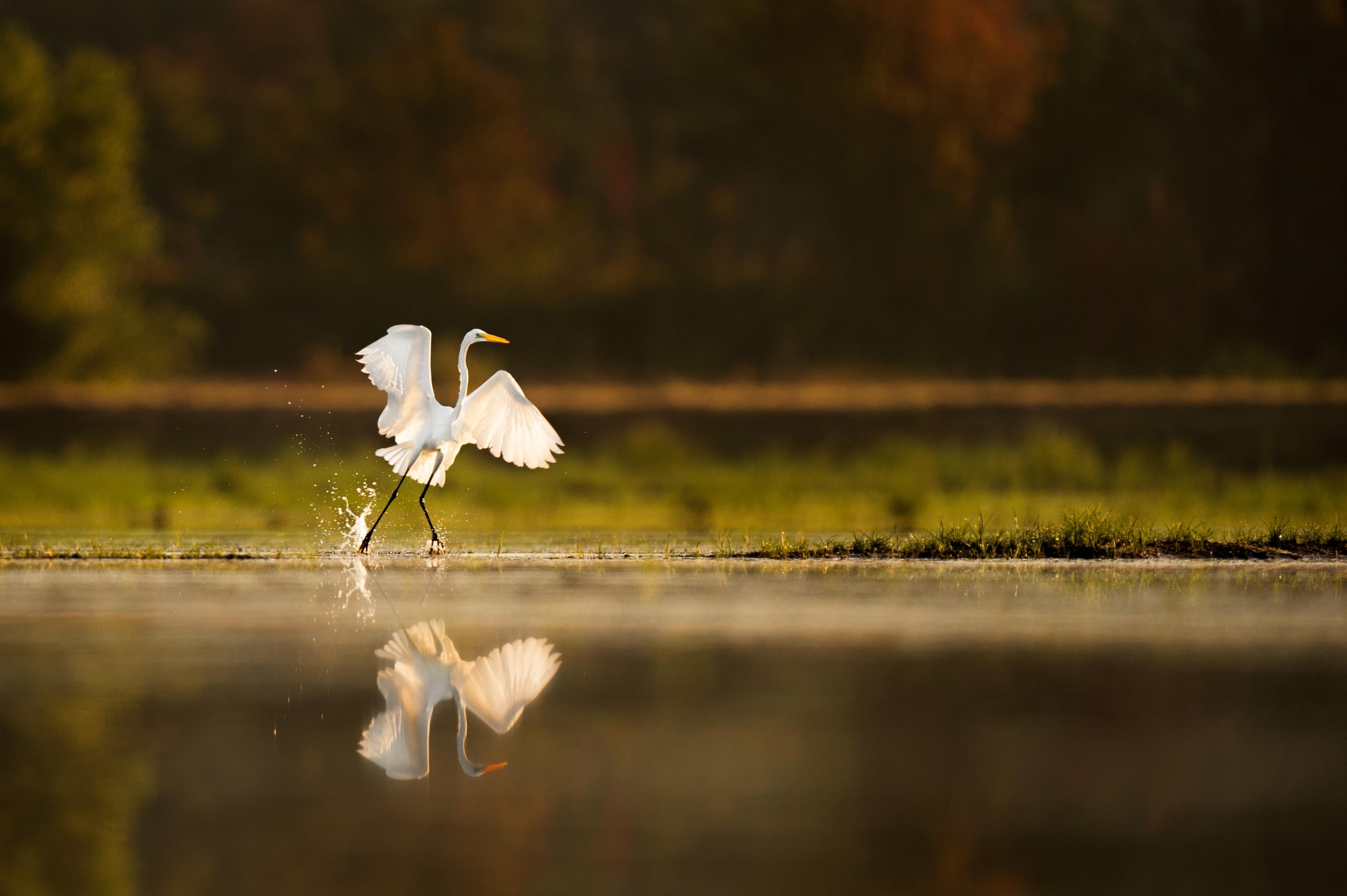 white crane bird walking near body of water