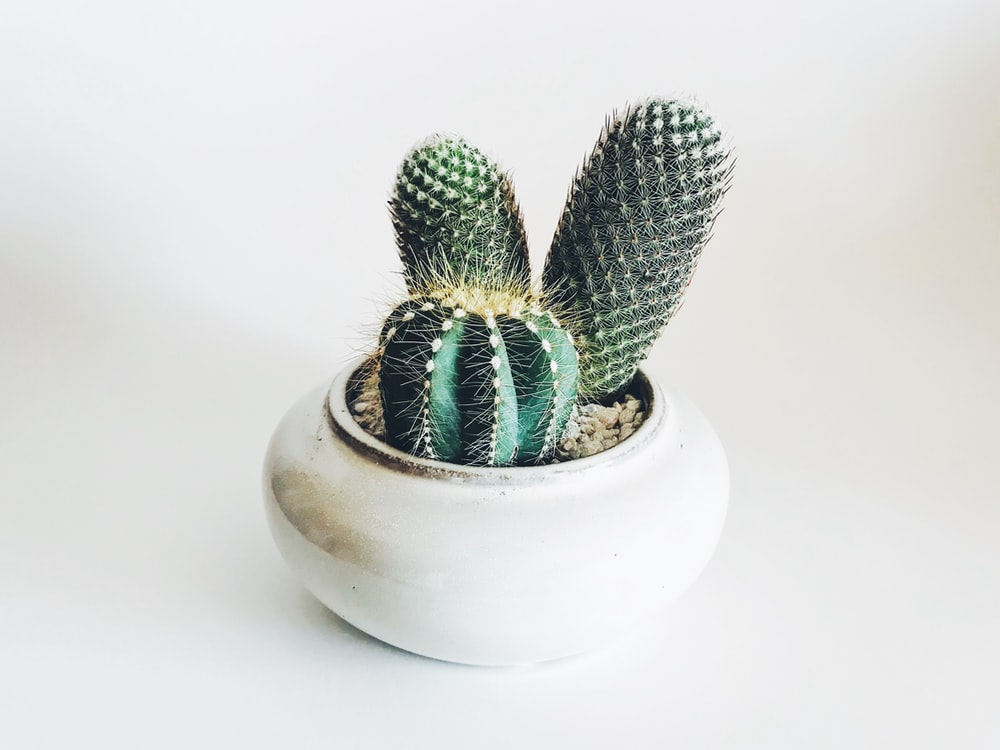green cactus in white ceramic pot