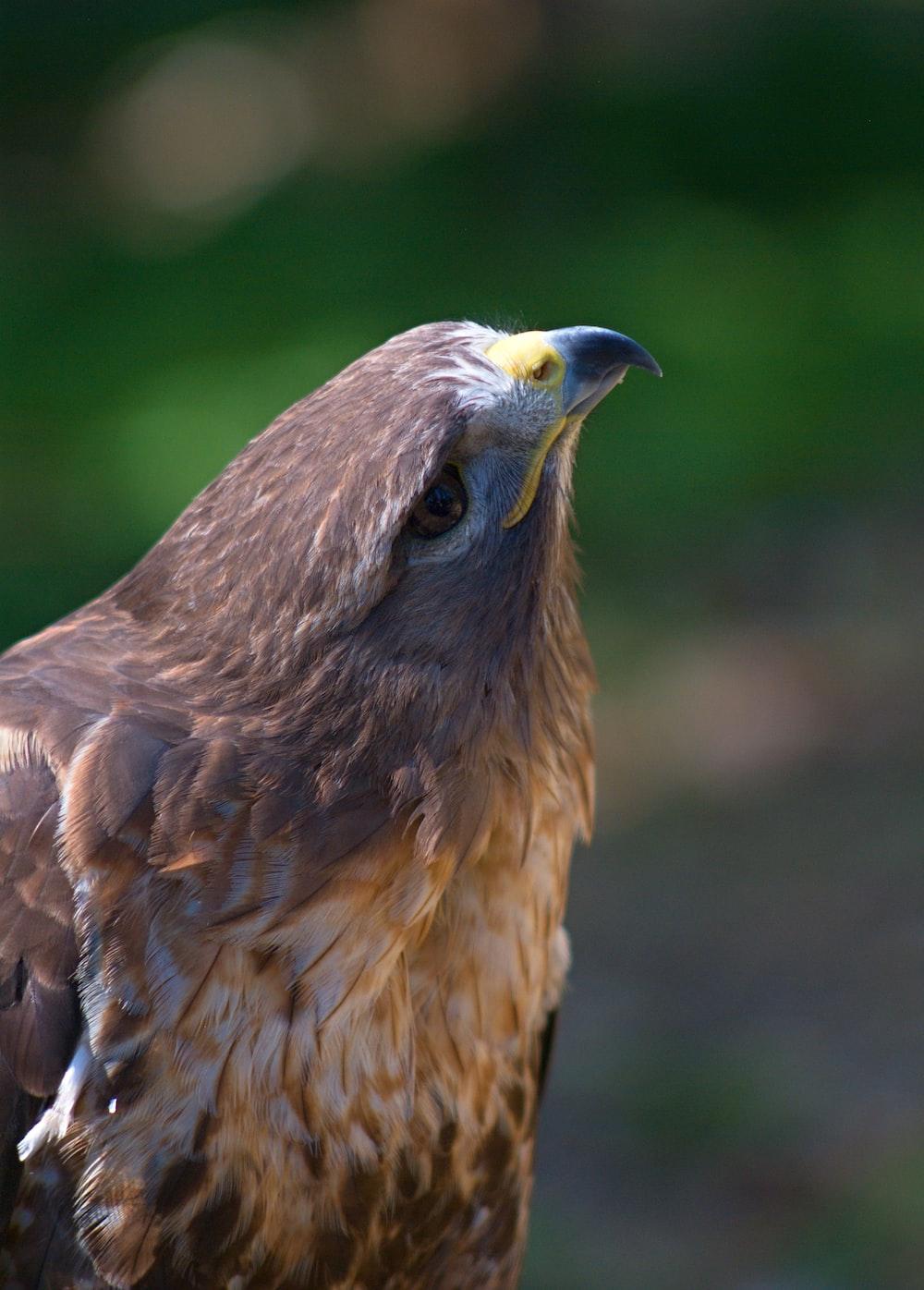 brown hawk selective focus phot o