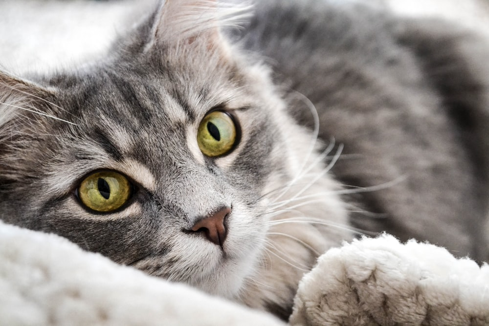 closeup photography of gray and black tabby cat laying on white textile