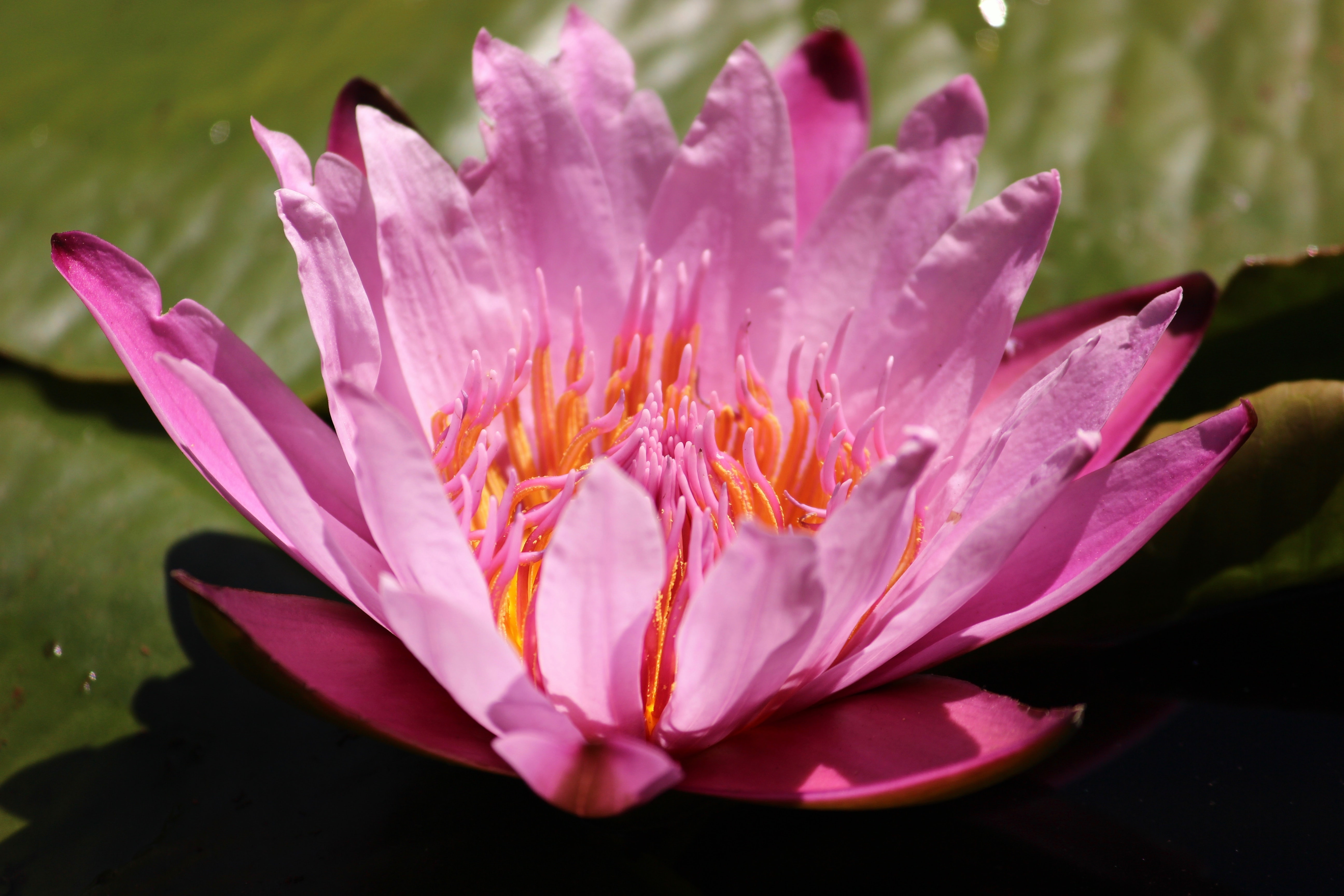 pink water lily during daytime