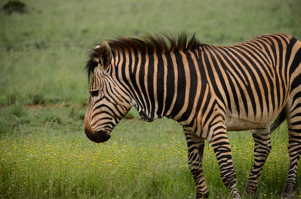 black and brown zebra on top of green grass field
