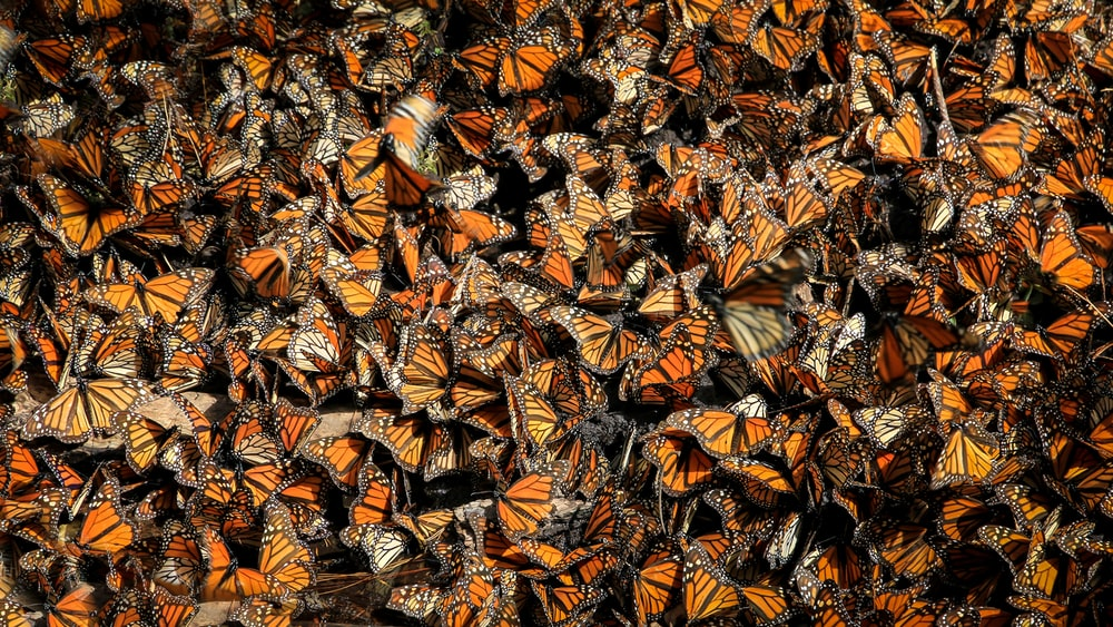 orange butterflies
