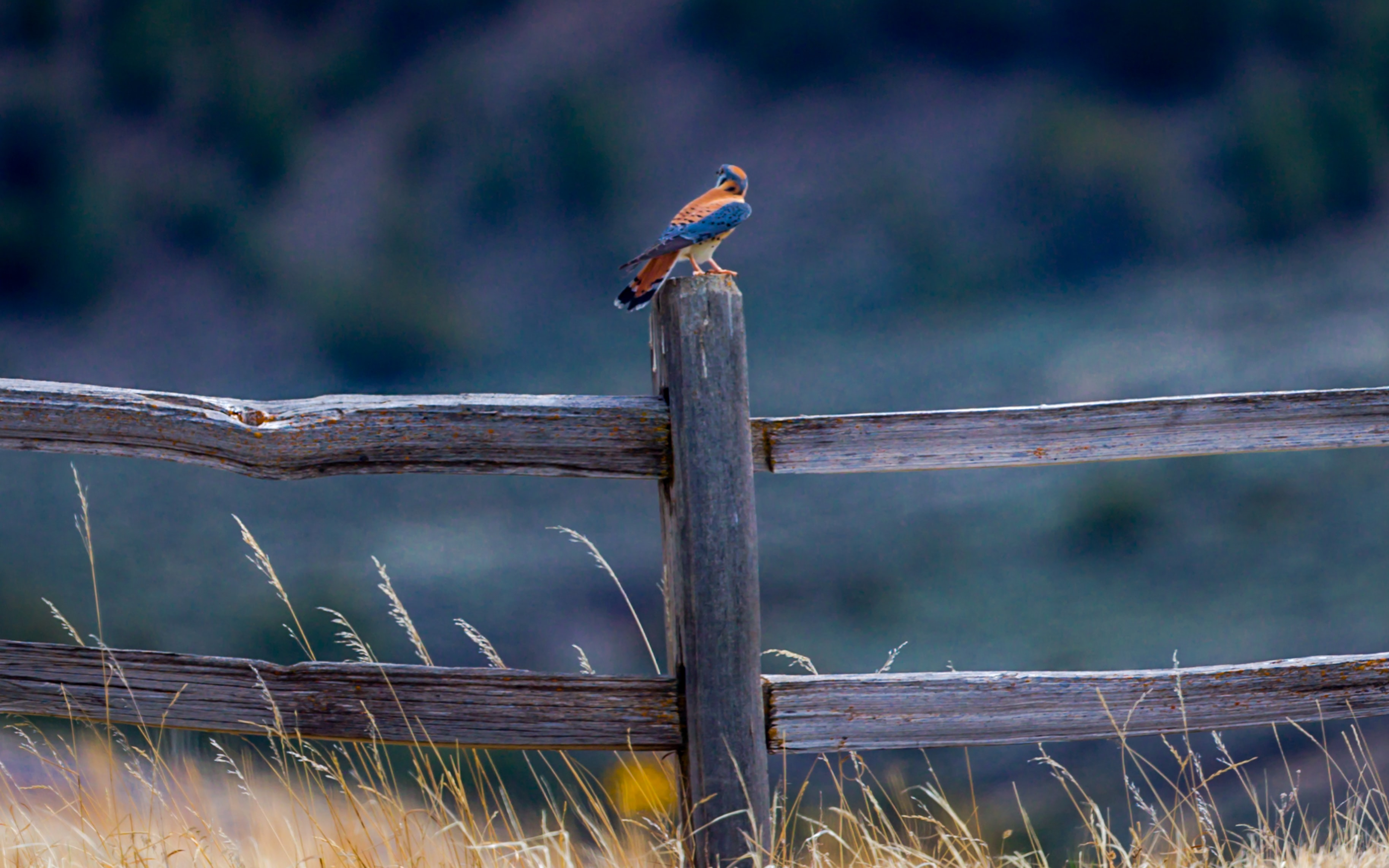 blue and red bird on brown wooden fence