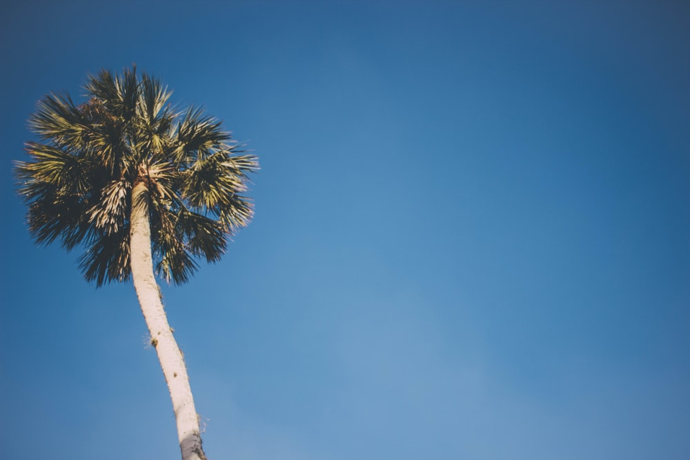 coconut tree under blue sky low angle photography