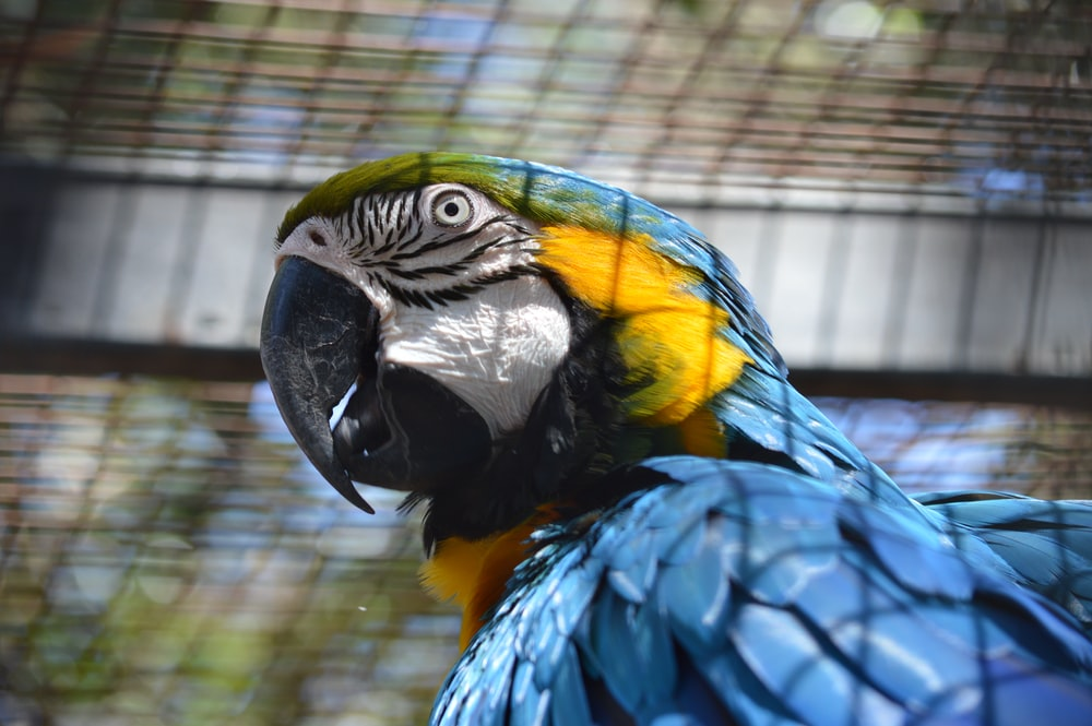 yellow and blue bird in cage