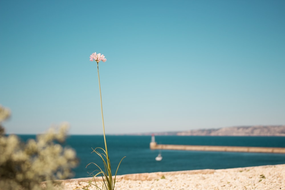 pink petaled flower on beach at daytime